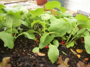 Radishes to pick